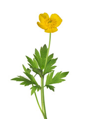 wild yellow buttercup flower with green leaves