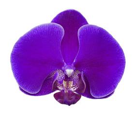 large dark purple orchid flower on white
