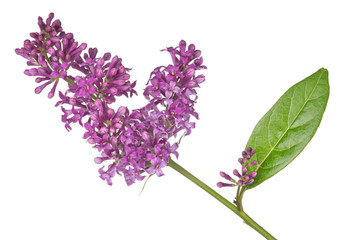 dark isolated lilac inflorescence and leaf
