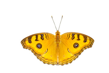 Isolated top view of pansy peacock butterfly