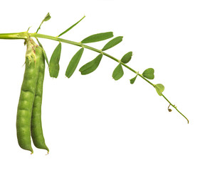 isolated two pea pods on green stem