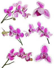 set of three petals orchid flower with pink spots