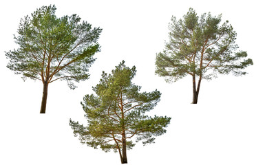 three green pine isolated on white