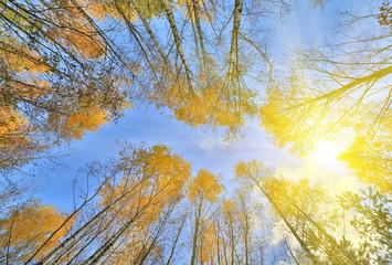 gold autumn trees grow to bright sun