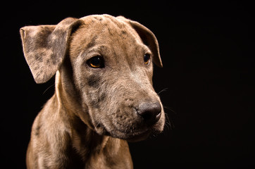 Portrait of a cute puppy pitbull