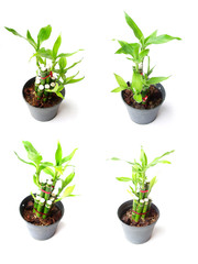 ribbon plant in pot on white background