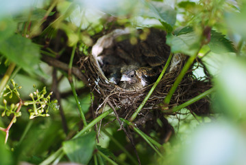 Little Bird Nestlings