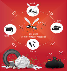 Life Cycle Common House Mosquito Vector