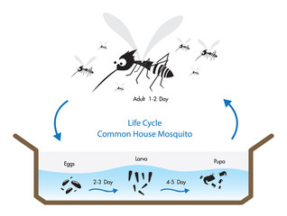 Life Cycle Common House Mosquito Vecto