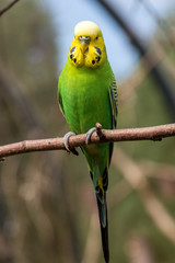 Female budgerigar