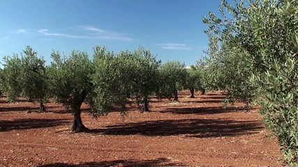 Olive plantation in Sicily