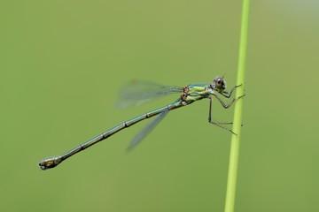 Lestes viridis, female