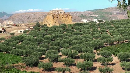Olive plantation in Sicily, Italy.