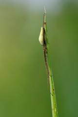 Tetragnatha extensa, spider