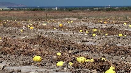 Ripe melon on the plantation in Sicily