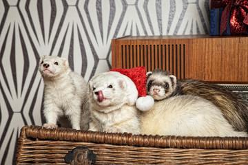 Weihnachten mit den Frettchen