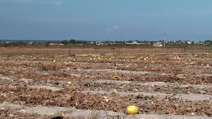 Ripe melon on the plantation in Sicily
