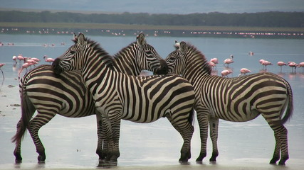 Three zebras stands together along the edge of a lake.
