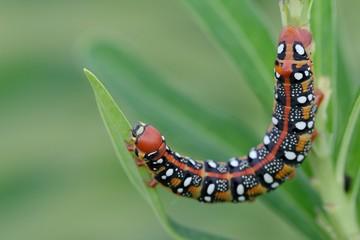 Hyles euphorbiae, caterpillar