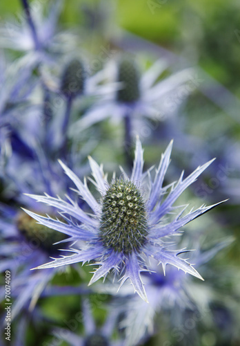 canvas print picture Distel