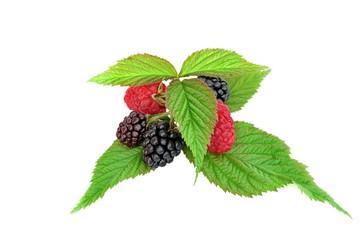 Raspberries and  Blackberries With Leaves