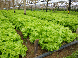Lettuce garden under greenhouse