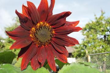 Braune Sonnenblume in der Morgensonne