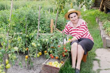 Elderly women of a kitchen garden received harvest of tomatoes