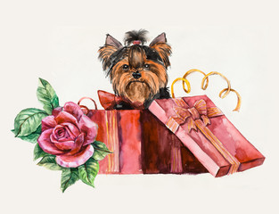 Puppy as a gift. Yorkshire terrier looks out of a box.
