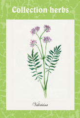 Valerian. Collection herb.