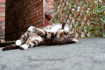 Tabby cat rolling over on shed roof