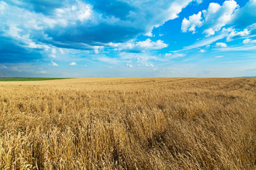 Ripe wheat field over blue sky. Agricultural landscape