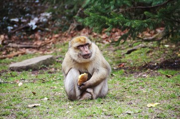 Barbary Macaque Monkey Eating a Potato