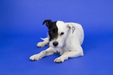 Süßer Hund vor blauem Hintergrund - Cute dog on over background