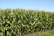 Corn plants in the meadow