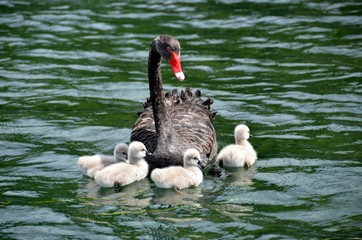 Семейство уток