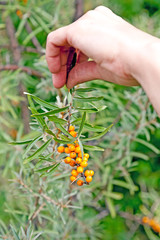 Hand with a branch of sea-buckthorn