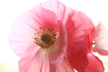 Shirley poppies closeup