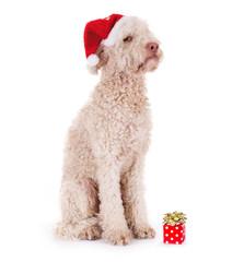 Unzufriedener Hund mit zu kleinem Geschenk