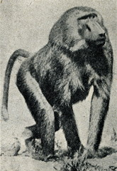 Chacma Baboon (Papio ursinus) ready to attack