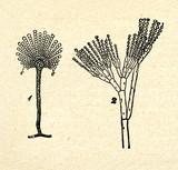 Aspergillus herbariorum (1), Penicillium expansum (2) poster
