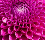 Colorful Pink Dahlia Flower