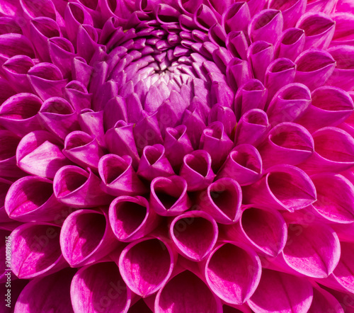 Foto op Aluminium Dahlia Colorful Pink Dahlia Flower