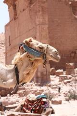 Testa di cammello a Petra