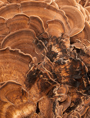 abstract close up of bracket-fungus mushrooms