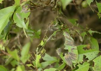 椿の葉のチャドクガの幼虫
