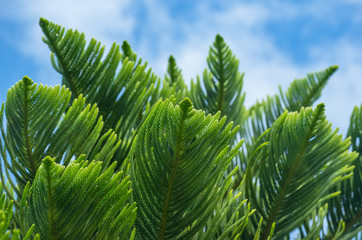 Araucaria branches against the sky