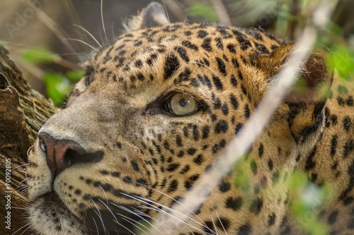 Deurstickers Luipaard leopard