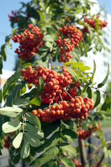 Many rowanberries hangs on green banches closeup