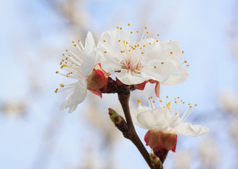 close up of apricot tree blossom